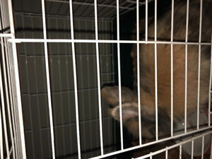 1year old lion head rabbit and cage