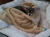 Best Dog Ever - Tiny Chihuahua