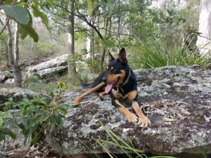 Kelpie very obedient dog Works sheep goats alpaca Blk and Tan Liverpool Liverpool Area Preview