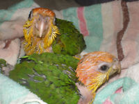 White Bellied Caiques for Sale