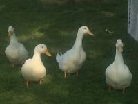 Pekin ducks