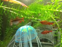 Poissons d'aquarium Barbus cerise