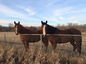 Geldings - two awesome horses
