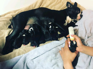 Chiots, Puppies Boston Terrier