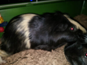 FREE!!! 3 male guinea pigs. All under a year old