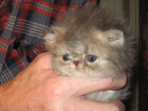 Handsome EXTREME BLUE TABBY PERSIAN male kitten, soon ready!