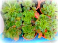 London pride plants various other potted plants