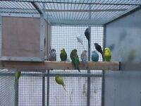 Budgies & quails for sale