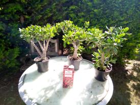 Large money plants