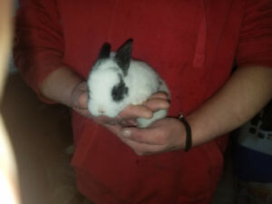 Rex/Americans baby kittens(rabbitts) for sale 4 weeks old