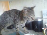 missing brown tabby cat