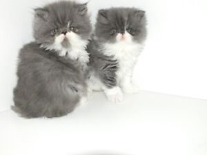 CHATON EXOTIQUE POILS LONG (PERSAN)