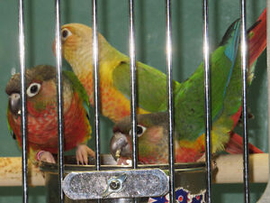 New ARRIVAL BABY CONURES!!!!! EXOTIC PETS*