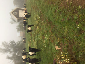 Belted Galloway Heifers