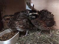 Pair of frizzle bobwhite quail
