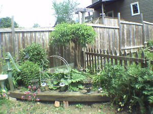 2 Year Old Hardy White Mulberry Tree Peterborough Peterborough Area image 2