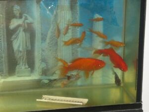 Poisson de bassin ou aquarium