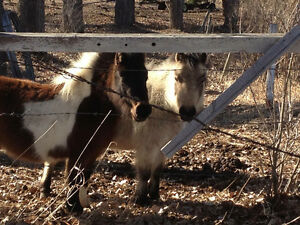 Two miniature mares looking for home together