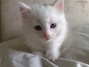 Lovely Pure White Kittens - last kitten