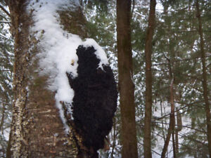 WILD HARVESTED Chaga chunks 1 pound NOT cultivated