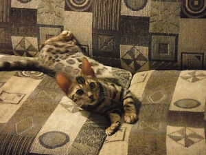High quality Bengal kittens - chatons