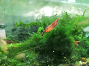 Red cherry shrimp with eggs for sale