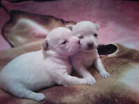 Perfect Valentines gift.  One female chihuahua left.