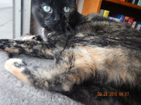 BEAUTIFUL TORTI  -- Fixed & Vaccinated -- @ Small Things