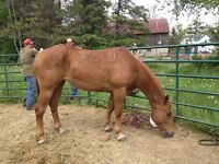 8 yr old reg quarter horse mare - great for any level of rider