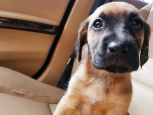 Golden retriever x puppies