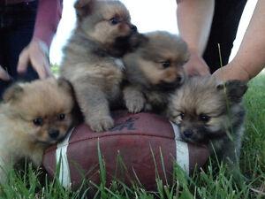 Purebred Pomeranian Puppies