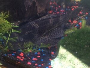 Large 10 inch pleco to give away
