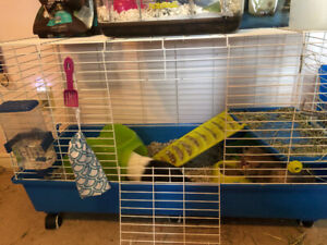 2 male 3 year old guinea pigs with cage and accessories