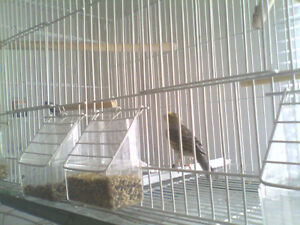 A pair of lizzard canary 2015 ready for breeding
