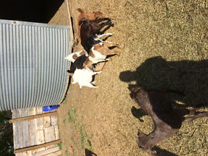 76 goats for sale