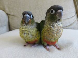**SUPER SWEET HANDFED BABY YELLOW SIDED CONURE**ONLY 1 LEFT**