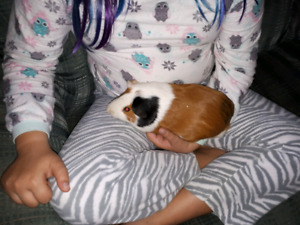 2 guinea pigs cage and some supplies
