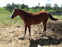 APHA 2014 Filly