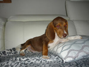 Chiot beagle male