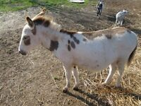 Miniature Spotted Jack Donkey 10 Months Old.  29 inches
