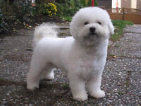 Looking for a Bichon Frise