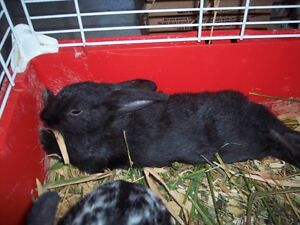 Black male bunny for sale