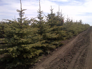 Mattson Tree Farm - Prairie Grown trees for sale