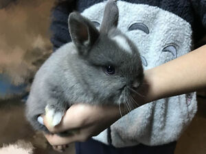 bunnies for sale(lops and dwarfs)
