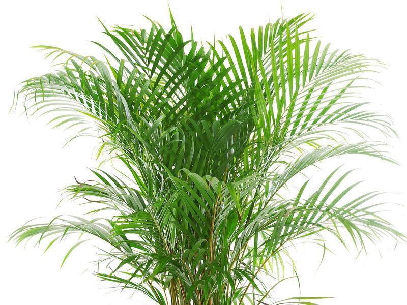 Top 10 indoor plants ebay - Real areca palm ...