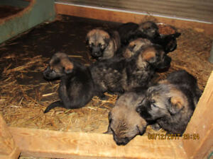 Non Registered German Shepherd pups also adult dogs available