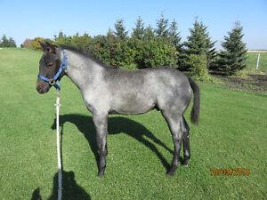 Aqha Blue Roan Colt