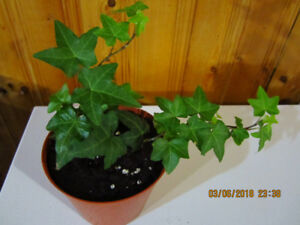 English Ivy - (Air Purifying Plant)