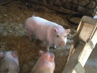 1 male neutered micro pig - 12 inches tall