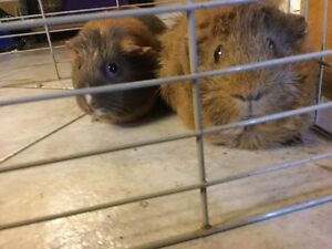 Two adorable guinea pigs need a new home